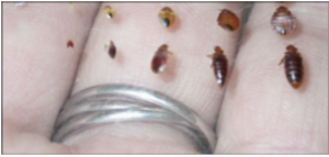 Bed bug shown in all 5 life cycle examples