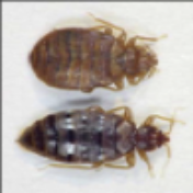 male and female bed bug